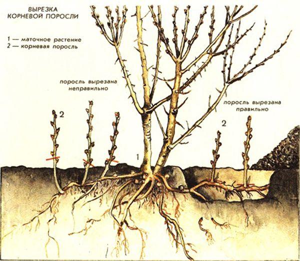Как следует вырезать поросль вишни