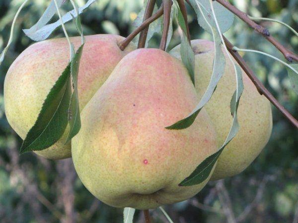 Плоды Млиевская ранняя созревают в августе