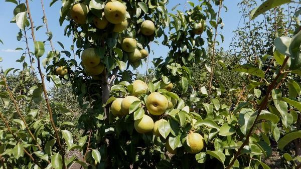 Этюд Киевский дает очень крупные, вкуснейшие плоды