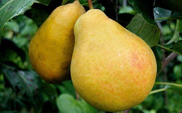 В южных широтах вес плода достигает 500 г