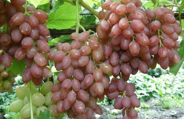 Виноград лучистый нуждается в обильном поливе