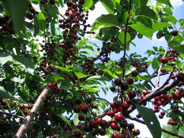 Главное достоинство гибрида в его великолепных ягодах