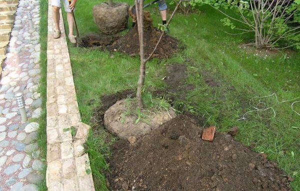 Оптимальный срок посадки вишни весной