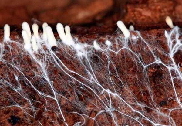 Посадить грибы можно при помощи мицелия