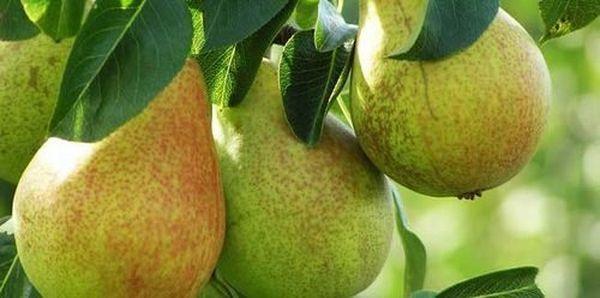 Груша Москвичка – среднерослое дерево штамбового типа