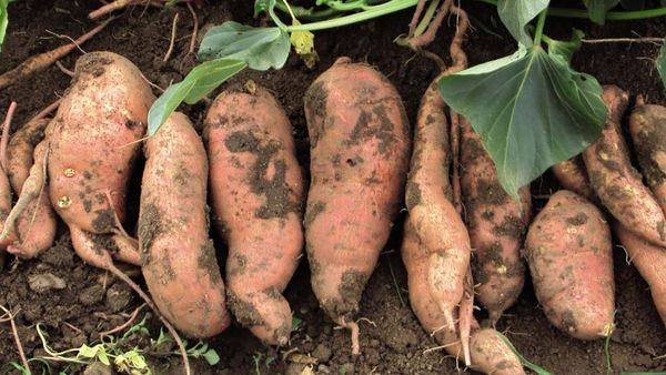 Батат - полезный овощ