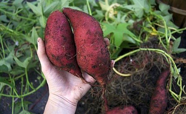 Сладкий картофель относится к тропическим растениям