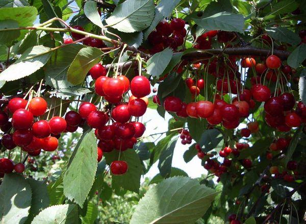 Вишня – одна из самых любимых и популярных садовых культур