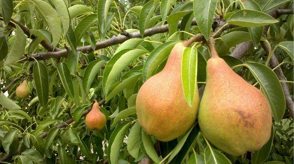 Сорт Бессемянка своими плодами напоминает яблоки