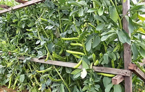 Можно собирать урожай свежих бобовых по мере их созревания