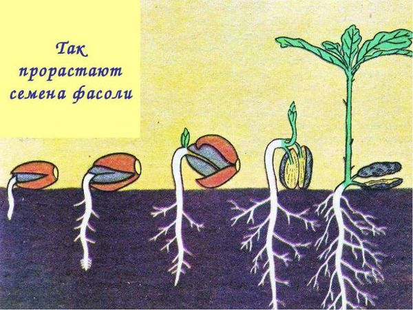 Прорастание семян культуры