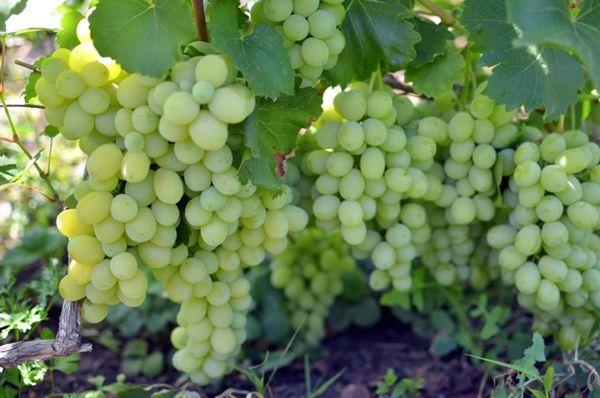 Виноград Лора плодоносит на 2-й год после высадки