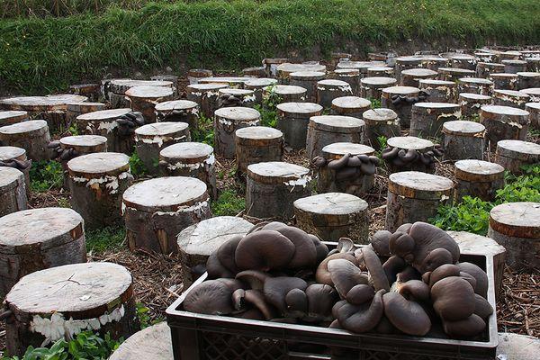 Для выращивания грибов понадобятся срезы древесины