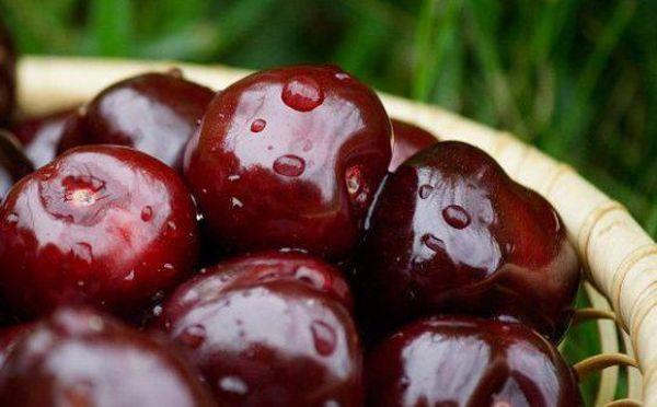 Сорт вишни Чернокорка славится прекрасной урожайностью