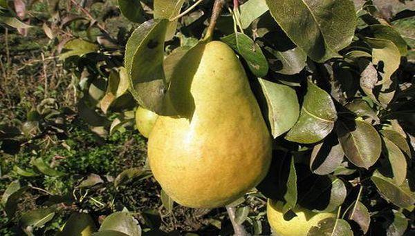 Плоды Молдавская раняя отличаются средней величиной и сладким вкусом