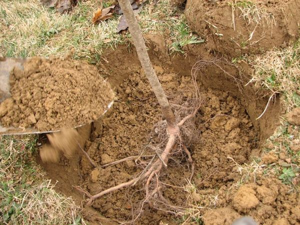 Перед высадкой саженца в почву нужно разрыхлить грунт