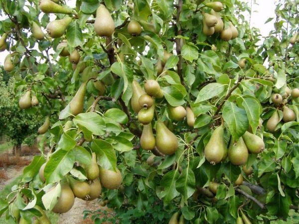 Садоводы описывают грушу как неприхотливое дерево