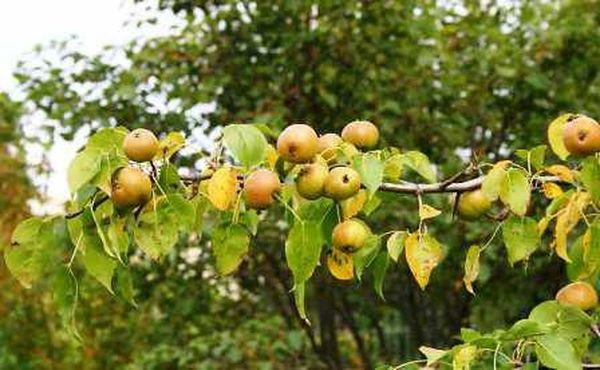 Плоды созревают в августе-сентябре