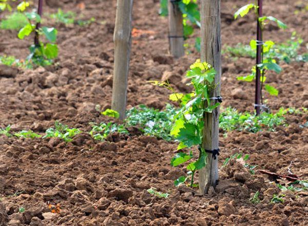 Необходимо выбрать правильное место для разбивки виноградника