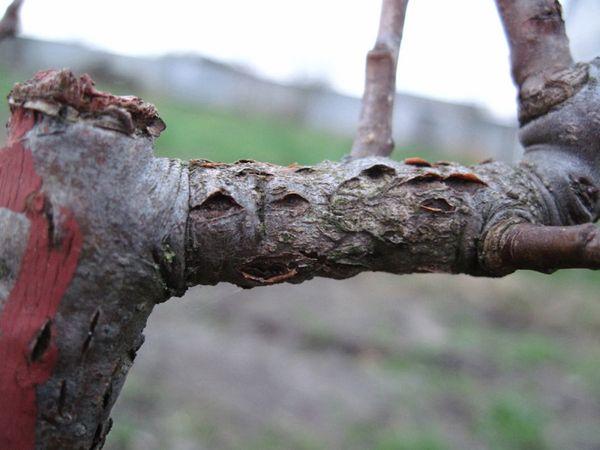 Дерево может не плодоносить из-за болезни