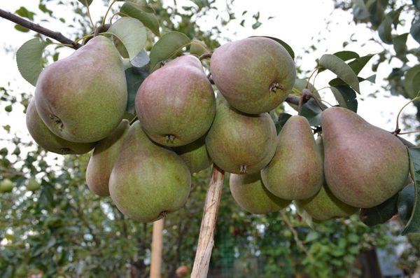 Хранить плоды можно в течение двух месяцев после сбора