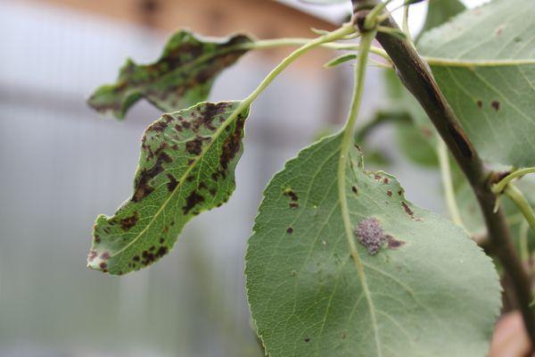 Потемнение листьев груши - тревожный сигнал