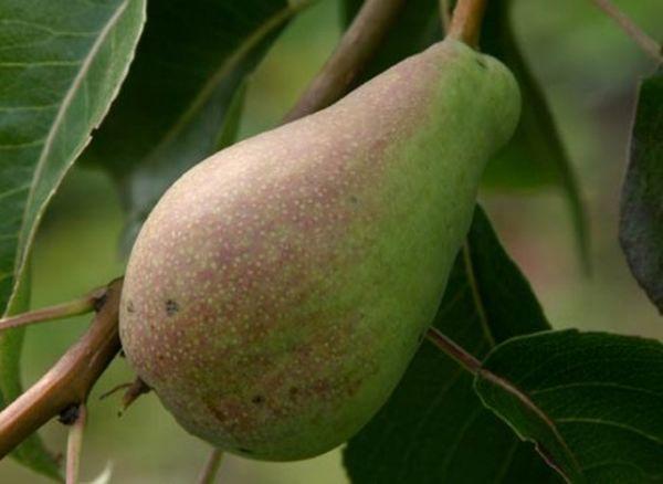 Плодоносит дерево сорта Отечественная на 4-й год после посадки
