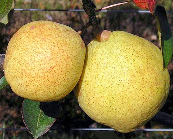 Описание и выращивание груши гибридного сорта Яковлевская