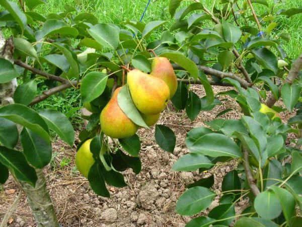 Плоды сорта имеют массу от 120 до 250 г