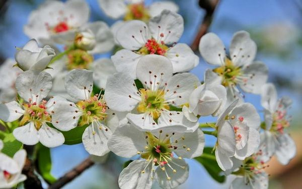 С одного дерева можно получить 100–120 кг плодов