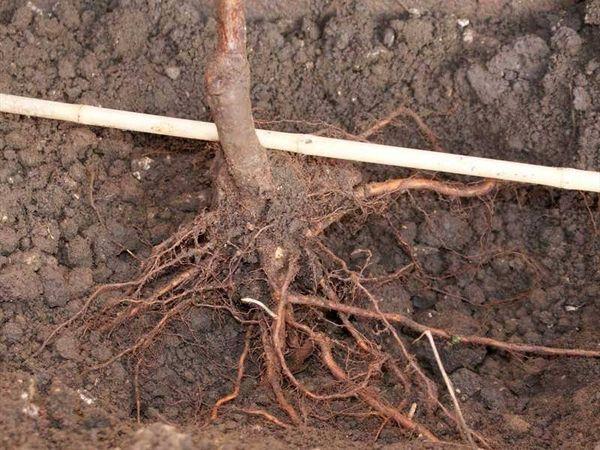 Высаживать грушу желательно весной, в конце апреля – начале мая