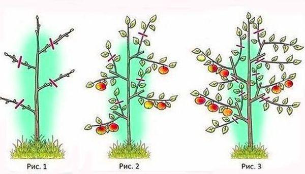 Обрезка молодых плодовых деревьев