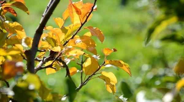 Желтая листва - тревожный сигнал