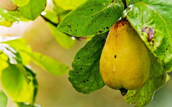Засухоустойчивость – одна из сильных сторон груш