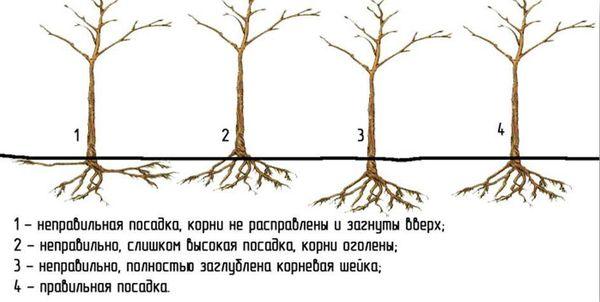 Правила посадки груши в саду