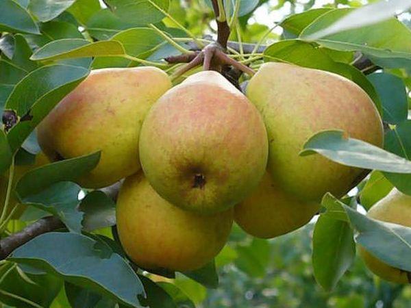 Чем интересна груша Отрадненская для садовода