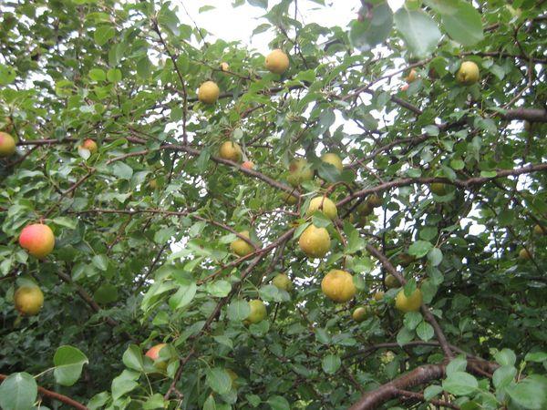 Плоды сорта среднего размера, весом около 100 г