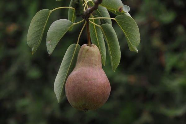 Груша может давать плоды десятилетиями
