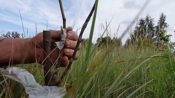 Прививание груши на рябину