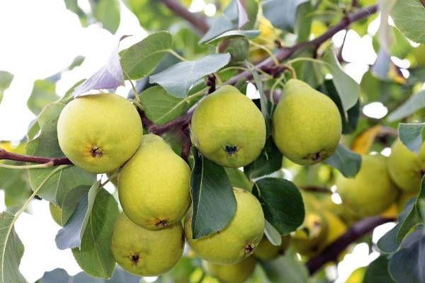 В Ленинградской области выращивать груши проблематично.