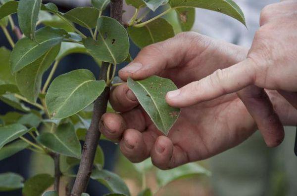 Зараженное дерево подвергается огромной опасности