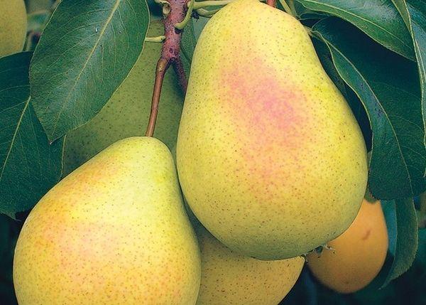 Плоды груши Сварог собирают в конце сентября