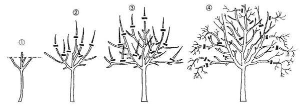 Формировка кроны плодового дерева