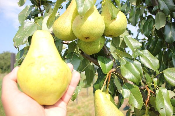 Плоды груши Видная (Бугристая)