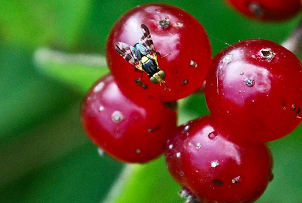 Внешне вишневая муха напоминает обычную муху