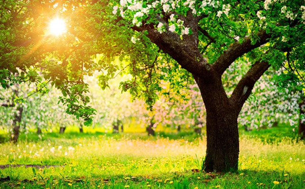 Продолжительность жизни яблони зависит от периода начала плодоношения