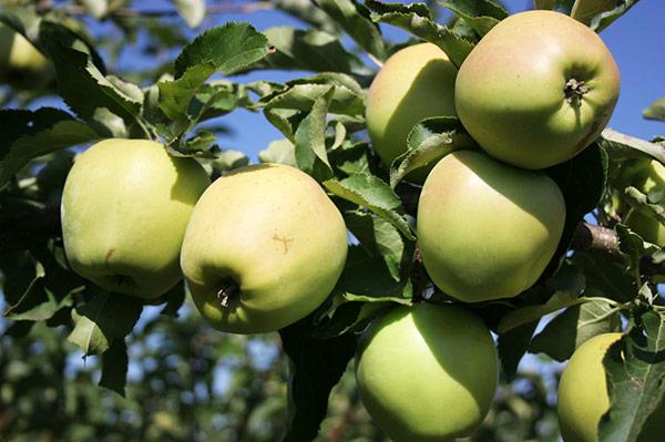 Возраст яблони также зависит от региона, в котором она обитает