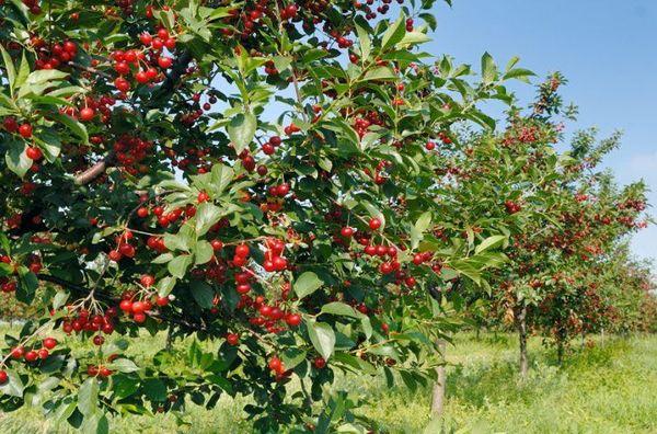 Посадка вишни осенью и весной: какой сезон лучше, выбор места и подготовка ям для выращивания, уход за саженцем