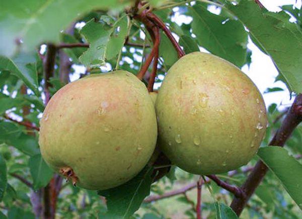 Урожайность сорта Сварог до 20 кг с дерева