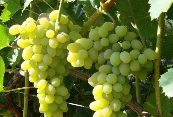 Виноград Лора устойчив к поражению грибковыми инфекциями